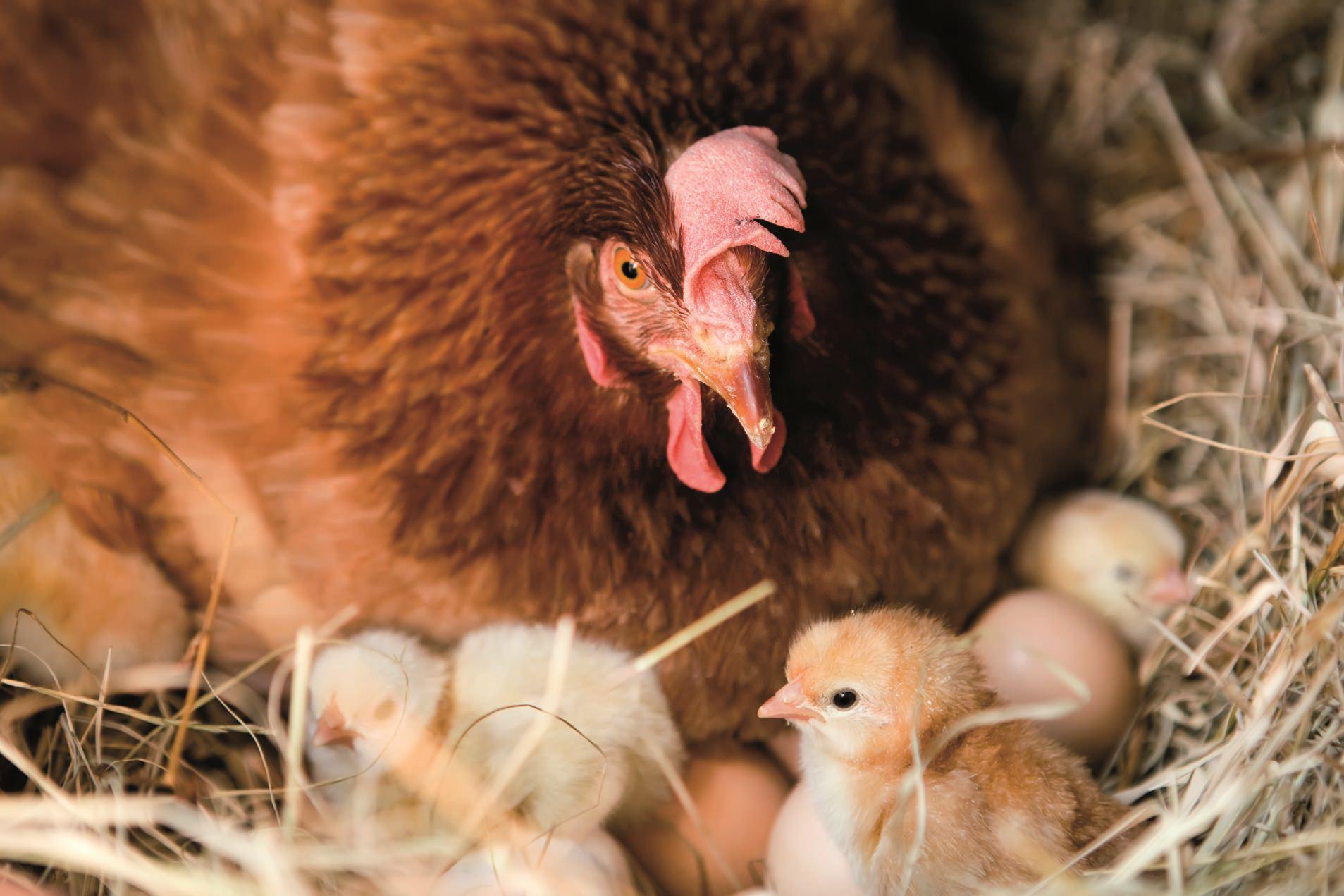 種鶏システム